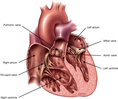 Chambers and Valves of the Heart